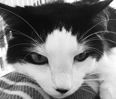 I'm Percy! Thx for liking me! Purrrrrr Black & White  #cats #catsofworld #catslover
