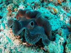 Fascinating giant clam seen on a Maldives dive trip #scuba