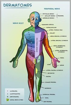 Dermatomes, nerve roots and peripheral nerves! I'm always struggling with LE peripheral nerve distributions! Craniosacral Therapy, Medical Anatomy, Athletic Training, Physical Therapist, Physical Therapy Student, Sports Medicine, Anatomy And Physiology, Human Anatomy, Nursing Students