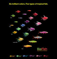 The most colorful pets for the most dazzling aquarium Tropical Freshwater Fish, Tropical Fish Aquarium, Betta Fish Types, Betta Fish Tank, Saltwater Tank, Saltwater Aquarium, Tetra Fish, Fish Fish, Cool Fish Tanks