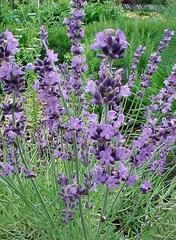 Lavandula angustifolia 'Buena Vista' - Plant Finder