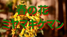 【富山散策】 春の野草 「ミヤマキケマン」