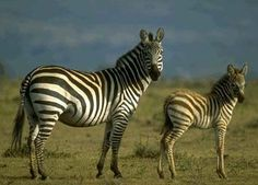 Zebra!  When you pause to marvel at their beauty it creates joy! 100414