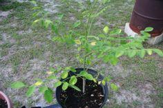Rich In Protein, Vitamin C, Farm Animals, Minerals, Leaves, Garden, Plants, Moringa Oleifera, Garten