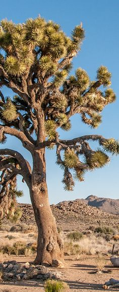 Plan a Trip to Joshua Tree National Park American National Parks, Purple Plants, Mojave Desert, Redwood Forest, Joshua Tree National Park, Beautiful Park, Tree Forest, Forests, Palms