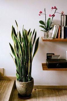Lengua de suegra: una planta perfecta para interiores | Mother\'s in law tongue: a perfect indoor plant
