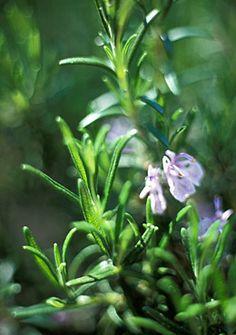 Rosmarinus officinalis 'Tuscan Blue' rosemary