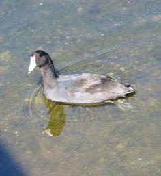 Bird Photos, Birding Sites, Bird Information: AMERICAN COOT, WAKODAHATCHEE WETLANDS, DELRAY BEAC...