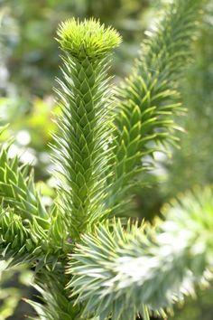 Chilenische Araukarie • Araucaria araucana • Andentanne • Schuppentanne • Pflanzen & Blumen • 99Roots.com