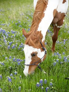 Clark's 8-year-old paint horse, Stella, grazes in a pasture—dotted with Texas bluebonnets—on the 30-acre property.