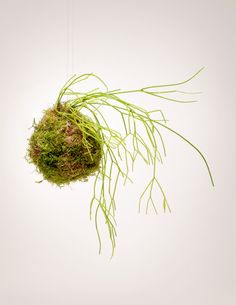 The Jungle Cactus String Garden is our take on the Japanese Kokedama - a traditional form of bonsai in which tropical plants are transformed into living sculptural art pieces. Kokedama, simply transla