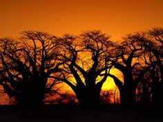 Baobab Trees at sunset: Musina Nature Reserve – Vhembe Region, South Africa Kruger National Park, National Parks, Baobab Tree, Out Of Africa, Nature Reserve, Heaven On Earth, Trees To Plant, South Africa, Cool Pictures