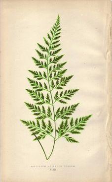 1872 fern illustration