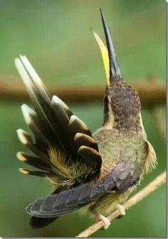 Pustelnik skromny.Eng. Dusky-throated hermit.(Phaethornis squalidus) – gatunek małegoptakaz rodziny kolibrowatych(Trochilidae). Jest tokoliber endemicznydla obszaru wilgotnego LasuAtlantyckiego w południowo-wschodniejBrazylii. Środowiskiem jego są podszycia wilgotnego lasu i litoralu oraz gęstego średniego regla. Długość ciała wynosi około 9 cm. Pokarm jego stanowi nektar i małe stawonogi.