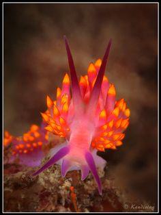 Nudibranch - Trinchesia sibogae (Siboga Trinchesia)
