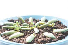 JOELIX.com | Baby succulents