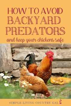 Want to keep your chickens and ducks safe from predators? I have a few tips that can help. A step by step guide on how to keep your backyard chickens safe from predators. Stop attacks before they start, keep chickens and eggs safe. Best Egg Laying Chickens, Baby Chickens, Keeping Chickens, Raising Chickens, Chickens Backyard, Backyard Coop, Backyard Farming, Automatic Chicken Feeder, Broiler Chicken