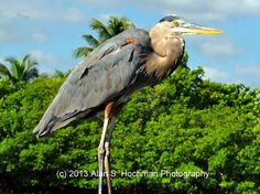 Great Blue Heron at  – OLETA RIVER STATE PARK – SUNNY ISLES, FL