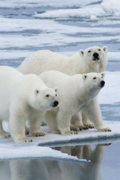 Polar Bears Mais  #polarbears  Visit our page here: http://what-do-animals-eat.com/polar-bears/