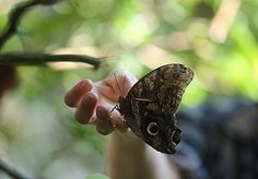 Motyl sowa (Caligo eurilochus)