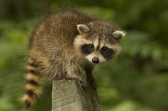 Baby Raccoon says, Your dog is mean.