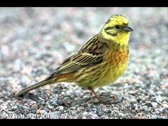yellowhammer (emberiza citrinella) seen in sweden Beautiful Birds, Animals Beautiful, Cute Animals, State Birds, Crazy Bird, Road Trip Usa, Nature Images, Sea Creatures, Animal Shelter