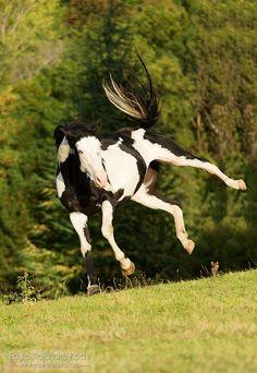 Crazy stallion.jpg - American Paint Horse stallion bucking in the field
