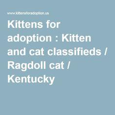 Kittens for adoption : Kitten and cat classifieds / Ragdoll cat / Kentucky