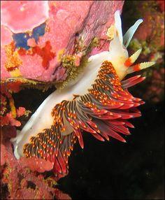 Nudibranchs the oceans flamingo dancers...
