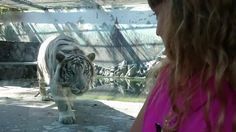A visit to the zoo turns scary when a tiger in an enclosure stares down a little girl, then lunges toward her.