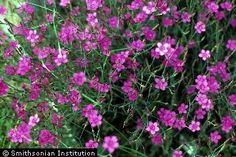 'Maiden Pink' Dianthus