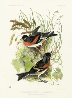 Bird prints by Jemima Blackburn from Birds Drawn from Nature 1862