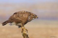 Eurasian Buzzard (Buteo buteo) waiting for prey
