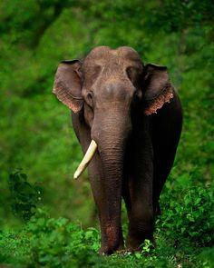 Elephant Images, Asian Elephant, Elephant Stuff, Ivory Trade, Elephant Photography, Cute Baby Elephant, Save The Elephants, Gentle Giant, Animals Beautiful