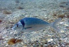 Tarakihi fish.