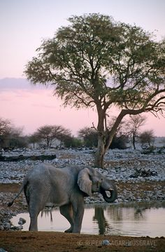 Africa | Elephant at the Okaukuejo waterhole, Etosha National Park, Namibia | ©Rupert Sagar-Musgrave