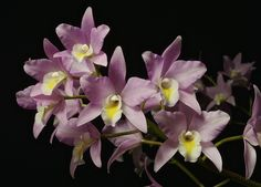Orchid: Laelia Finckeniana 'Kennedys' - Flickr - Photo Sharing!