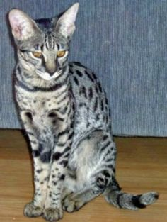 See more Photographs at: The Savannah Cat Club - #tinycat - More Tea Cup Cat Breeds at Catsincare.com!