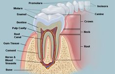4 types of teeth: Incisors, Canine teeth, premolars, and molars.