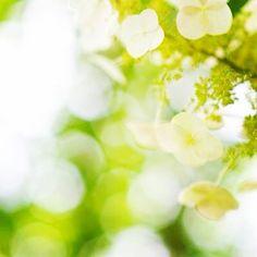 #hydrangeas #smilesmilecompany.com
