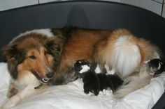 Mama nursing her puppies Shetland Sheepdog, Sheltie, Welsh, Collie, Nursing, Puppies, France, Babies, Dogs