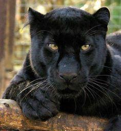 I love black panthers!