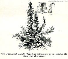 Paznehtník měkký - Acanthus mollis