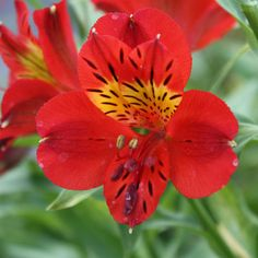'Red Sensation' alstroemeria  Alstroemeria 'Red Sensation'  For brilliant red flowers, 'Red Sensation' is one of the best varieties out there. The vigorous plant pumps out cherry-colored blooms with golden throats and unusually dark dashes.