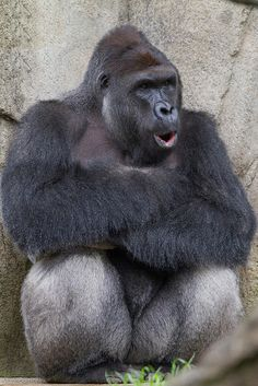 Why Was the Gorilla Harambe Killed at the Cincinnati Zoo? - Grief and outrage over 17-year-old great ape's death