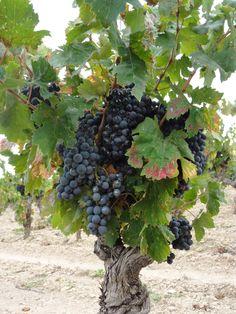 Free Image on Pixabay - Vines, Wine, France, Wines, Harvest Grape Tree, Grape Vines, Fruit Dressing, Grape Vineyard, Wine Vineyards, Growing Grapes, Food Backgrounds, Exotic Fruit, Wine Cheese