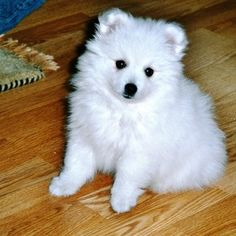 The Japanese Spitz was bred in 20th-century Japan as a companion dog. It is a five-times miniaturization of the samoyed, and can also be five times noisier with its constant barking. Spitzes are comfortable in urban environments, good with children, easily trained, & friendly with other animals, but they require frequent grooming. And then there's the barking.