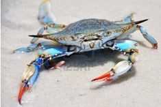 Google Image Result for http://us.123rf.com/400wm/400/400/mwanders/mwanders1012/mwanders101200021/8517599-blue-crab-on-a-white-sand-beach.jpg