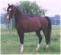 Anothe picture of Khiowa (Khemosabi x My Satin Doll) - Amy's sire