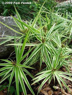 Carex phyllocephala 'Sparkler' sedge brightens the shade | penick